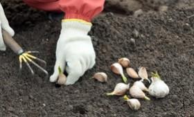 Garlic in the Garden